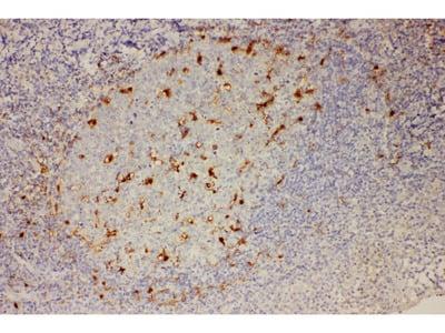 Rabbit Anti-IL18 Antibody