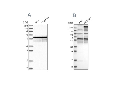 Anti-BSDC1 Antibody