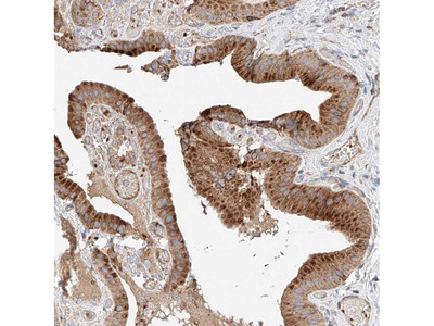 Anti-NR1D1 Antibody