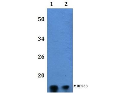 Rabbit Anti-MRPS33 Antibody