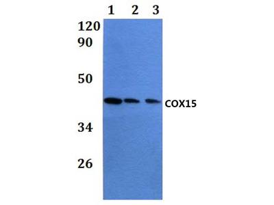 Rabbit Anti-COX15 Antibody