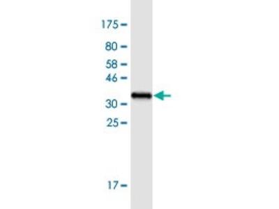 Mouse Anti-AVP Antibody