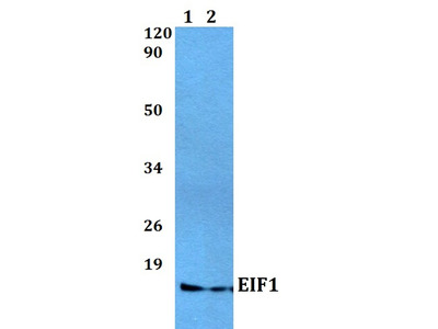Rabbit Anti-EIF1 Antibody