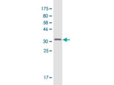 Mouse Anti-CXCL2 Antibody