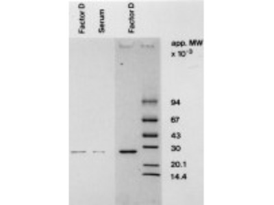 Mouse Anti-Complement D Antibody