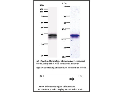 Mouse Anti-CHD6 Antibody