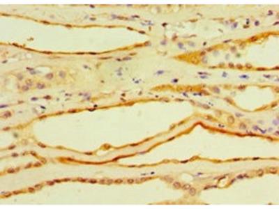 Rabbit Anti-CFD Antibody