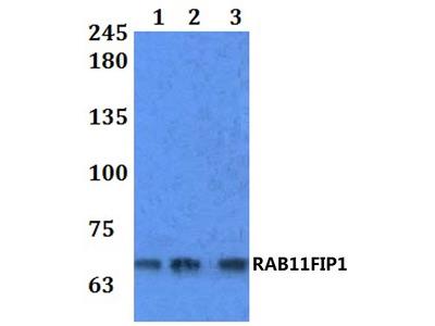 Rabbit Anti-RAB11FIP1 Antibody