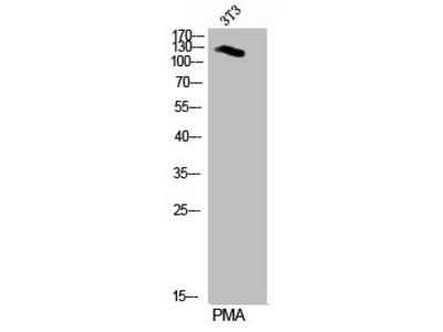 Rabbit Anti-Per2, phosphorylated Antibody