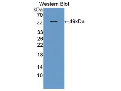 Rabbit Anti-FGF6 Antibody