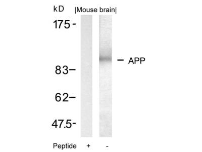 Rabbit Anti-APP Antibody