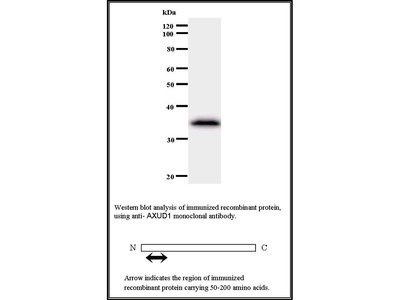 Mouse Anti-AXUD1 Antibody