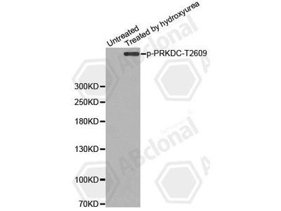 Rabbit Anti-PRKDC, phosphorylated Antibody