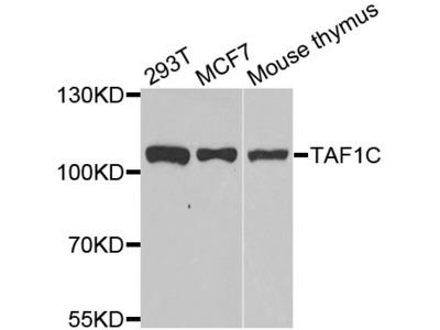 Rabbit Anti-TAF1C Antibody