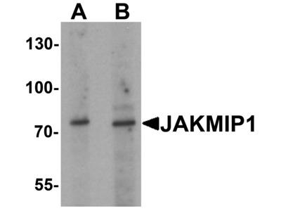 Rabbit Anti-JAKMIP1 Antibody