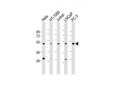 Rabbit Anti-CERS4, NT Antibody