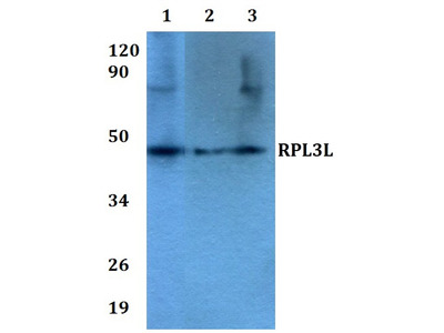 Rabbit Anti-RPL3L Antibody
