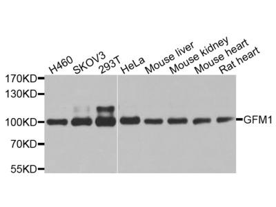 Rabbit Anti-GFM1 Antibody