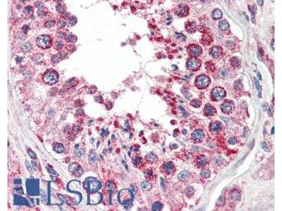 COXIV / COX4 Antibody