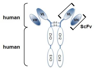 Mab Hu x human Netrin-1 (NTN1) antibody