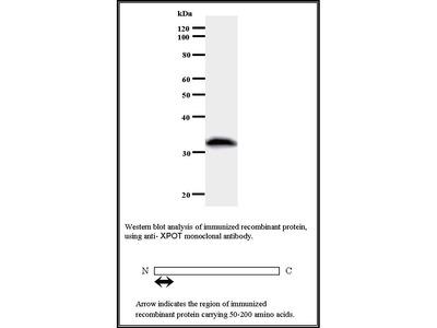 Mouse Anti-Exportin T Antibody