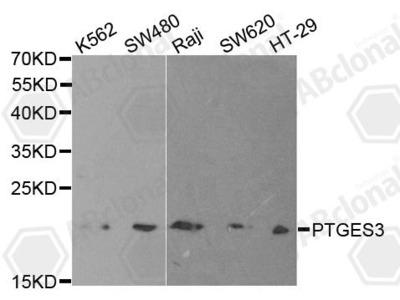 Rabbit Anti-PTGES3 Antibody