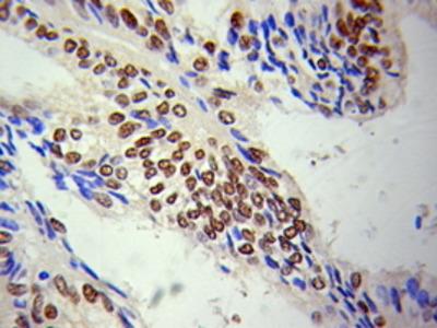 Rabbit Anti-LMNA Antibody