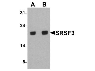 Rabbit Anti-SRSF3 Antibody