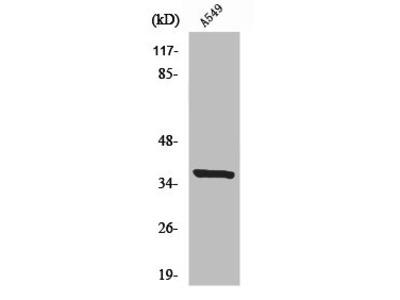 Rabbit Anti-NRBF2 Antibody