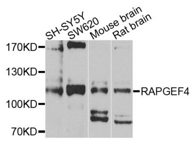 Rabbit Anti-RAPGEF4 Antibody