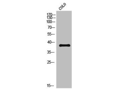 Rabbit Anti-CREB2, phosphorylated Antibody