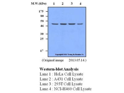 Mab Mo x human PRAK (MAPKAPK5) antibody
