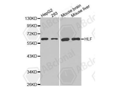 Rabbit Anti-HLF Antibody