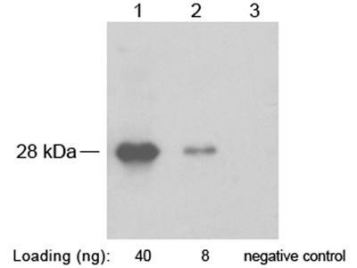 SNAP Tag Polyclonal Antibody