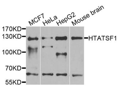 Rabbit Anti-HTATSF1 Antibody