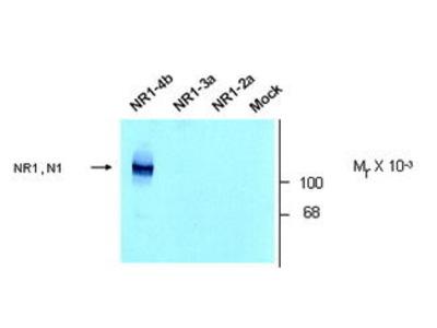 Rabbit Anti-NMDA Receptor NR1, Splice Variant N1 Antibody