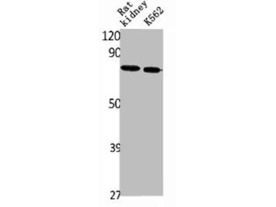 Pab Rb x human SLC34A2 antibody