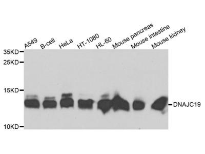 Rabbit Anti-DNAJC19 Antibody