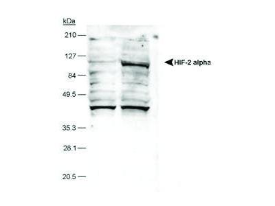 Mouse Anti-HIF-2 alpha Antibody (Biotin)