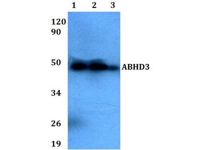 Rabbit Anti-ABHD3 Antibody
