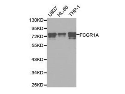 Rabbit Anti-FCGR1A Antibody