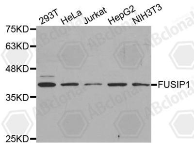 Rabbit Anti-SRSF10 Antibody