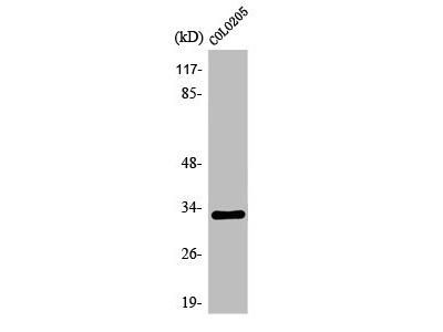Rabbit Anti-OR1B1 Antibody