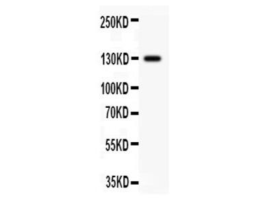 Rabbit Anti-PROM1 Antibody