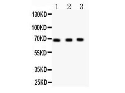 Rabbit Anti-Nurr1 Antibody