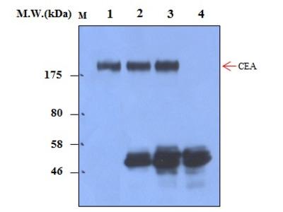 CEA (37B6) Monoclonal Antibody