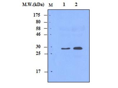 Complement C1q (9A7) Monoclonal Antibody