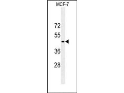 GFAP (3C5) Monoclonal Antibody