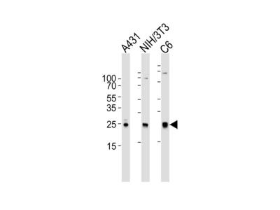 RAC1 (13C4) Monoclonal Antibody