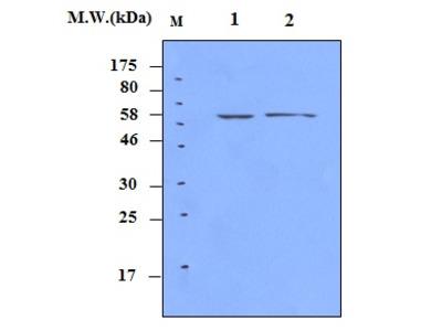 SHP1 (14D5) Monoclonal Antibody